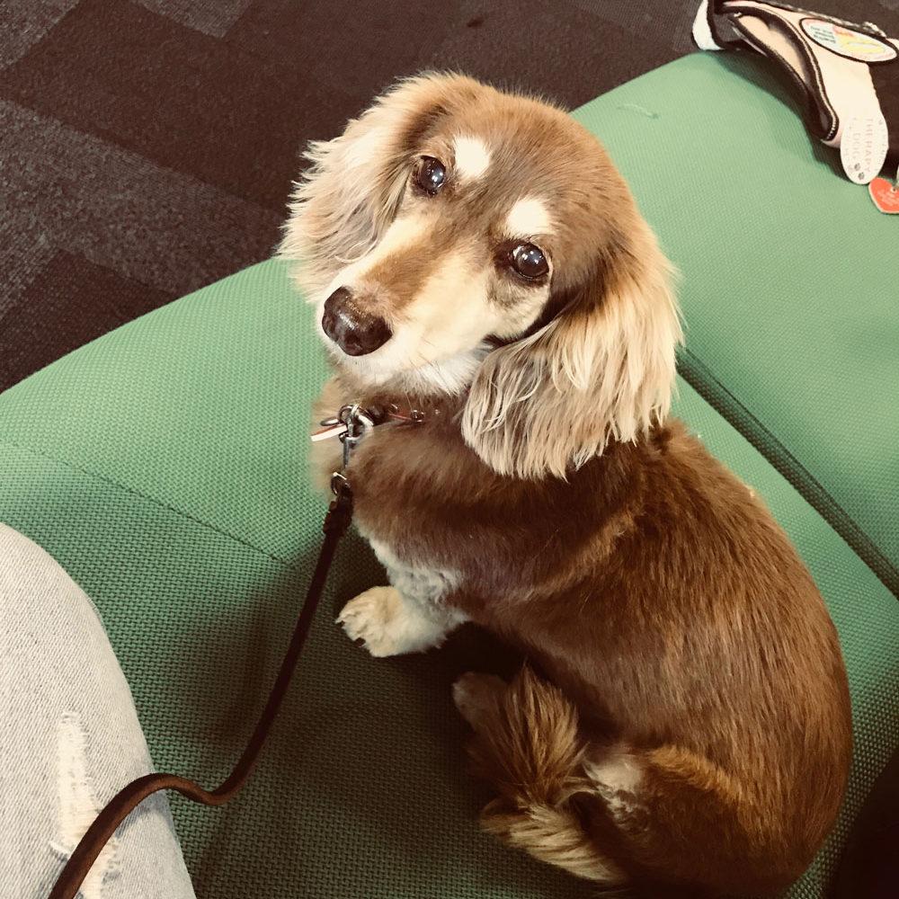 Luna- Pet Therapy DoG